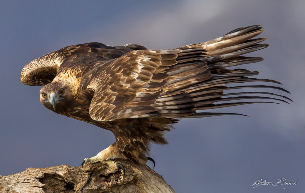 Special Species Campaign to Save San Diego County's Golden Eagles